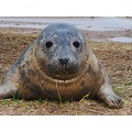 Seal pup from Donna Nook. Over 1500 were born this season with only the last few remaining