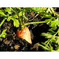 carrot garden vege vegetable