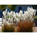 ornamental grass white silver