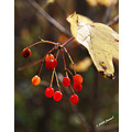landscape autumn fall colours manitoba canada berries