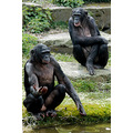 animals bonobo wildlife zoo
