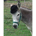 """Donkey"" - all dressed up for the big weddin'"
