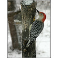 redbellied woodpecker bird feeder nature
