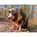 Pig Angelholm Sunlight Skane Sweden 2013 March