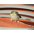 birds LesserGoldfinch