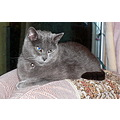 Cat Feline RussianBlue Talek Pet