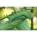 hornworm tomatoes garden nature