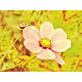 flower yellow pink mexico nature nostalgic
