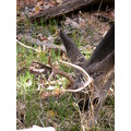 zion canyon deer antlers