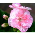 nature flower macro pink waterdrops