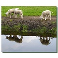 netherlands sgraveland animal sheep reflectionthursday nethx sgrax animx sheex