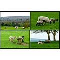 england chatsworth park sheep