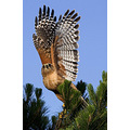 Red Shouldered Hawk 5