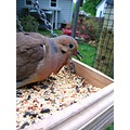 nature dove bird animals