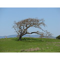 oak tree marincounty