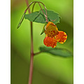 flowers wildflowers jewelweed