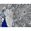peacock bird feathers display edit