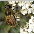 insect hoverfly flower
