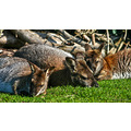 togethernessfriday wallabies wildlife animals zoo park