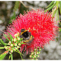 bubble bee bottle brush tree new zealand littleollie