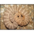And now the tiger rattlesnake series. We were out last night and saw 4 of these guys crawling aro...