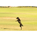 dance ball catch park dog black labrador run perth littleollie