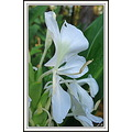 'Butterfly Lily'    Somehow they got pollinated (I never saw any kind of insect collecting the po...