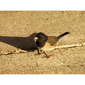 birds darkeyedjunco