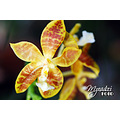 Phaleonopsis sp (Butterfly orchid)