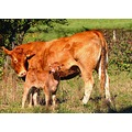 cow nature France october autumn countryside field grass animals
