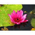 waterlily flower mavik