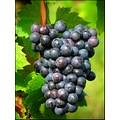 grape Beaujolais wineyard september France country countryside fruit