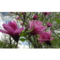 Magnolia at Renishaw