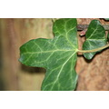 Ivy Leaf Closeup Macro Nature