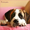 holly dog saint bernard pink