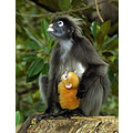 dusky leaf monkey ape primate simian animal nature