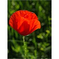 field green grass red poppy nature macro closeup