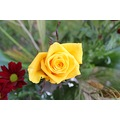 Rose Spring Yellow