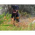 rottweiler dog animal family pet donkey orchids flowers plants nature