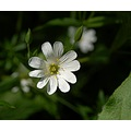 stitchwort brownsham devon