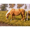 horse haflinger horses animal farm nature country