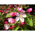 blossoms crabappletree spring