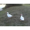 sly and bernice goose muscovey duck