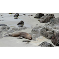 seal nap beach rocky peninsula dunedin new zealand littleollie