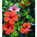 hibiscus flower red colour beauty beautiful plant