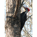 pileated bird nature wildlife