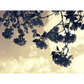 flowers sky clouds sepia old