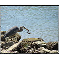 great blue heron eel nature