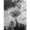 nature flowers closeup macro dof bw artistic