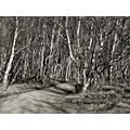 birch trees path